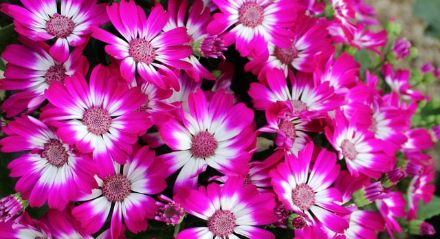 Flowers cineraria plant, nature landscapes.