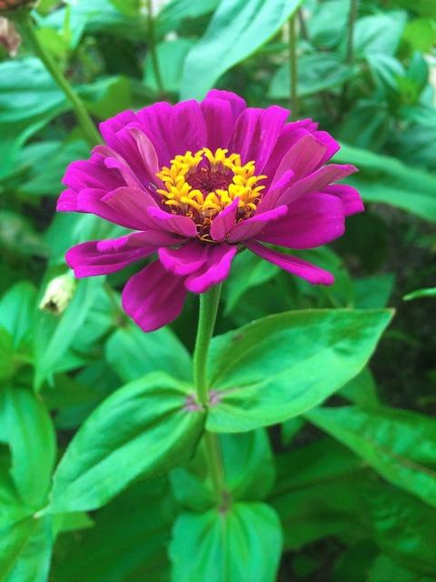 Flowers dahlia pink.