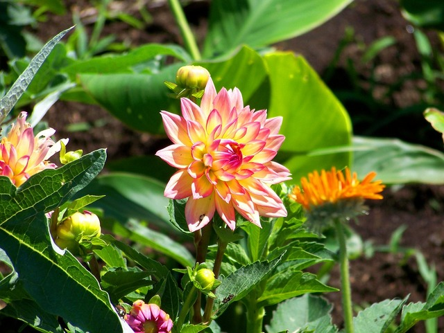 Flowers dahlias garden, backgrounds textures.