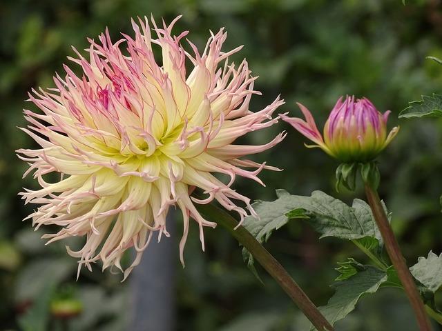 Flowers dahlias garden plant.