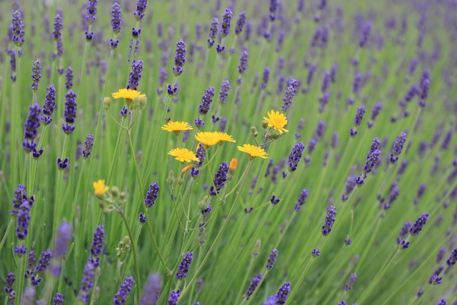 Flowers lavender lavender flowers, animals.