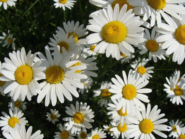 Flowers marguerite ox eye, nature landscapes.
