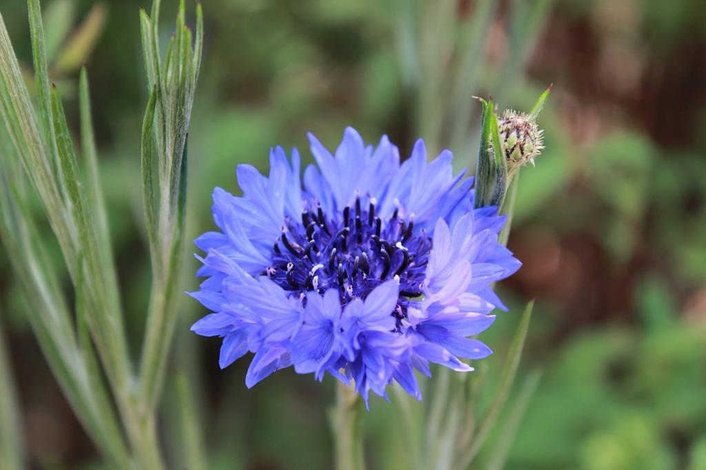 Flowers nature blue flower, nature landscapes.
