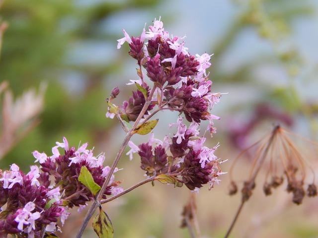 Flowers of the field marjoram macro.