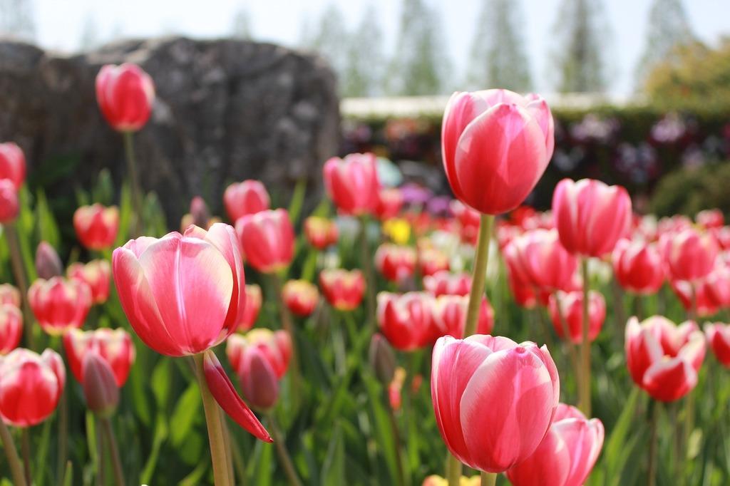Flowers pink pink flower, nature landscapes.