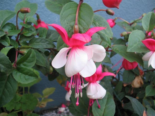 Flowers plant fuchsia, nature landscapes.