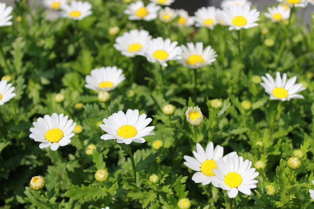 Flowers plants white flowers, nature landscapes.