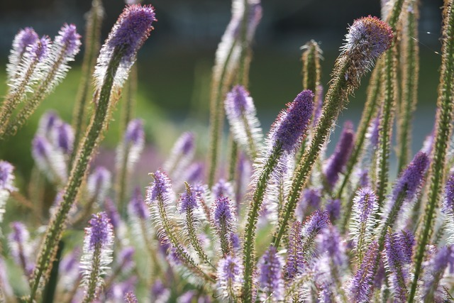 Flowers purple plants.
