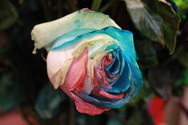 Flowers rose rainbow rose, nature landscapes.