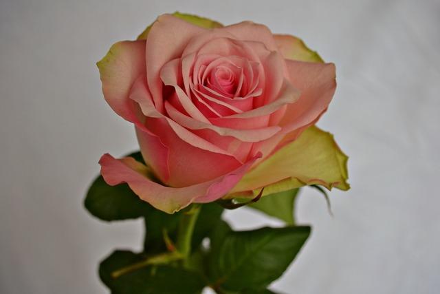 Flowers roses pink flower, nature landscapes.