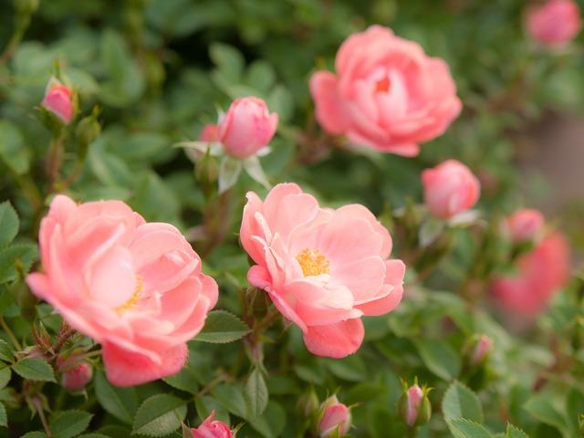 Flowers sunshine rose, nature landscapes.