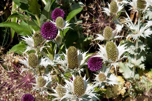 Flowers thistle cultivars thistles, nature landscapes.