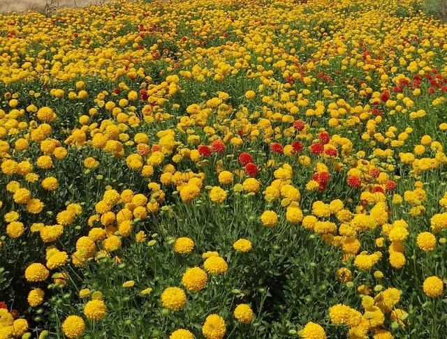 Flowers wildflowers chrysanthemum.