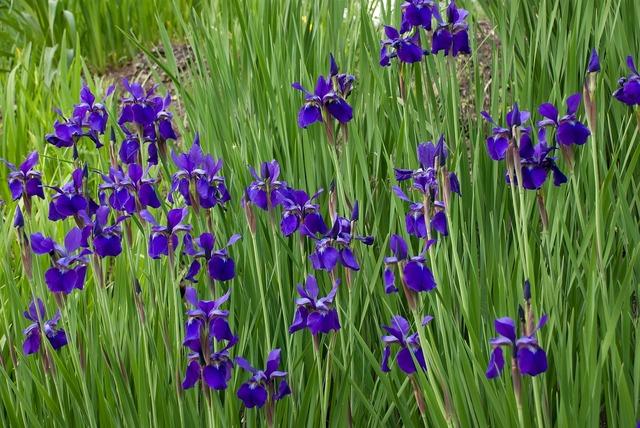 Flowers wildflowers iris.