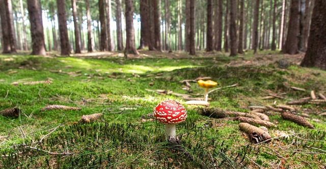 Fly agaric mushroom forest, nature landscapes.