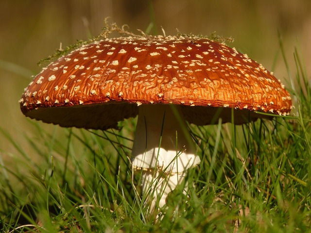 Fly agaric mushroom gift, nature landscapes.