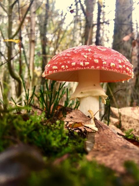 Fly agaric mushroom mushroom cultivation, nature landscapes.