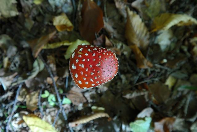 Fly agaric mushroom toxic.