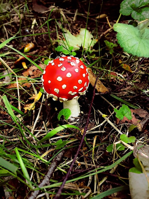 Fly agaric mushrooms forest, nature landscapes.