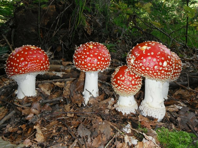 Fly agaric mushrooms red.