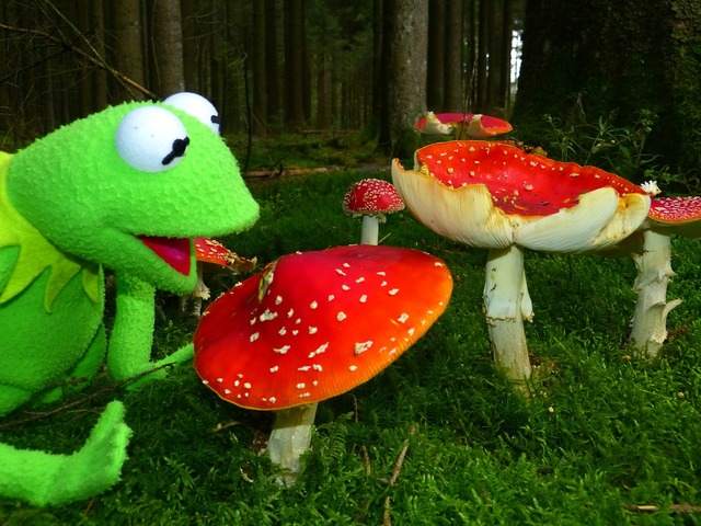 Fly agaric mushrooms red fly agaric mushroom, nature landscapes.