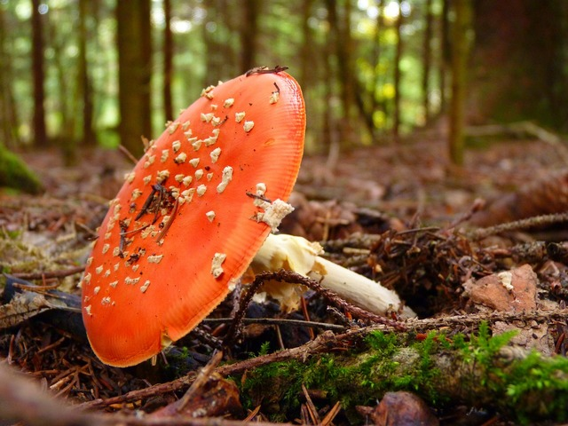 Fly agaric pil red, nature landscapes.
