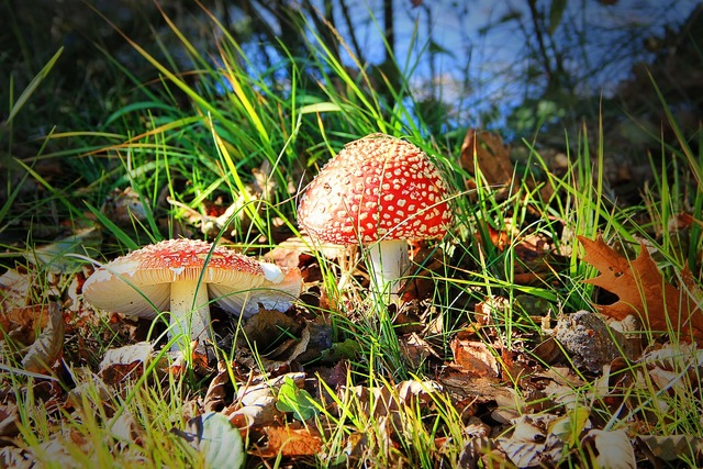 Fly agaric toxic mushroom, nature landscapes.