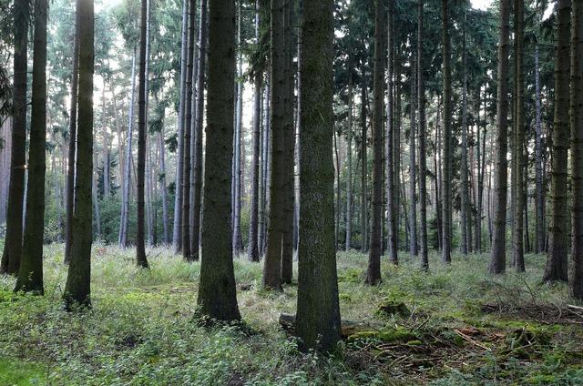 Forest coniferous forest trees, nature landscapes.
