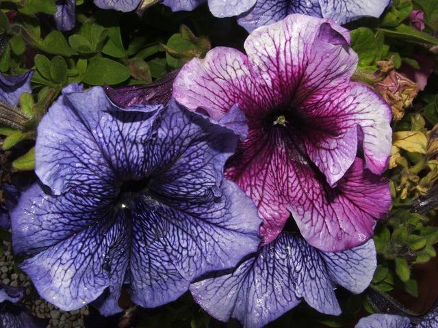 Forget me flower blue flower.