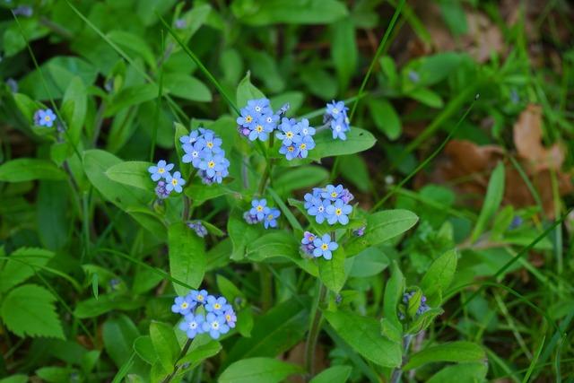 Forget me not myosotis flower, nature landscapes.