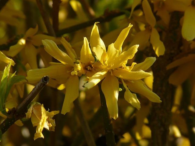 Forsythia gold lilac golden bells, nature landscapes.