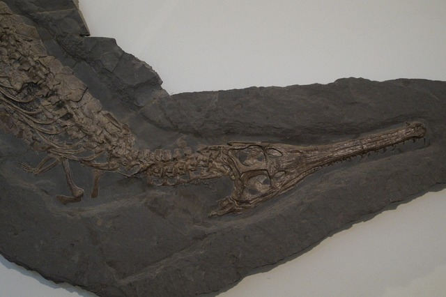 Fossil crocodile skeleton, science technology.