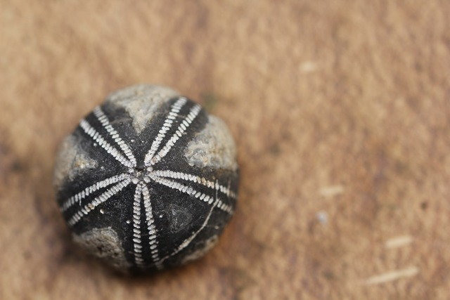Fossil fossils sea urchins, travel vacation.