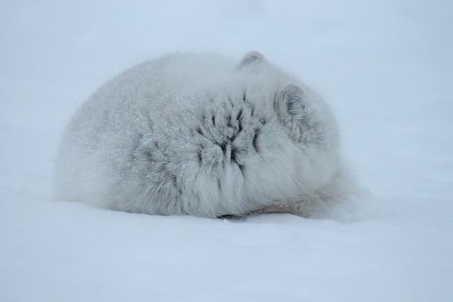 Fox arctic mammal, animals.