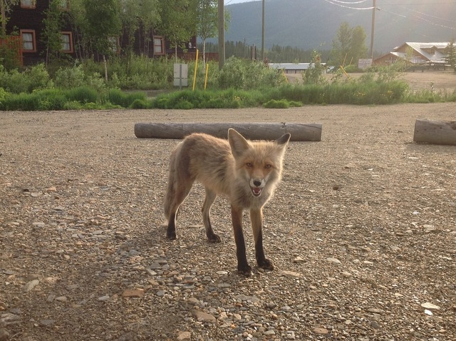 Fox yukon summer.