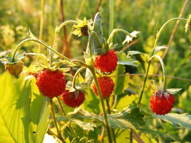 Fragaria plant rosaceae, nature landscapes.