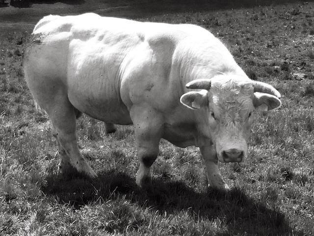 France aubrac bull.