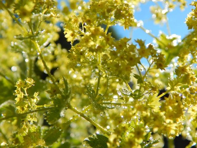 Frauenmantel flower bed, nature landscapes.