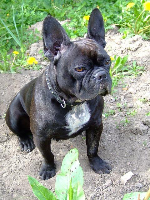 French bulldog dog doggy, animals.
