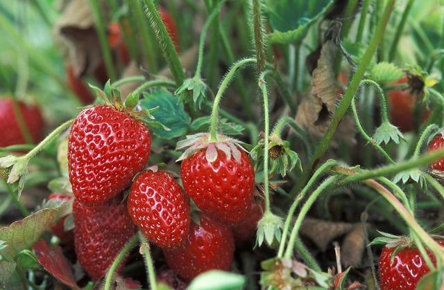 Fresh strawberries growing macro.