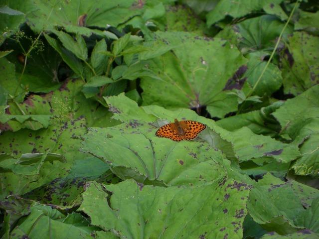 Fritillary butterfly orange, animals.