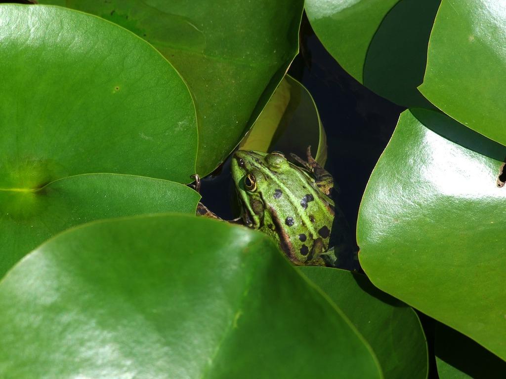 Frog frogs amphibians.
