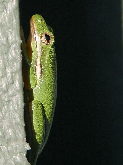 Frog green tree frog.