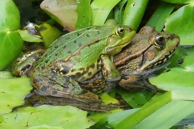 Frogs pond love, emotions.