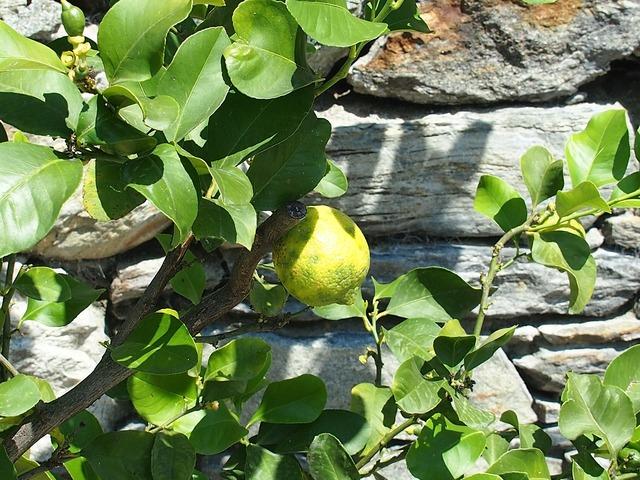 Fruit lemon yellow, food drink.