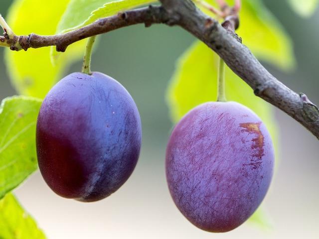 Fruit plums ripe, food drink.