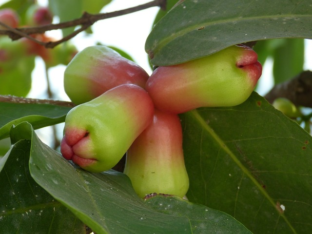Fruit tropics exotic, food drink.