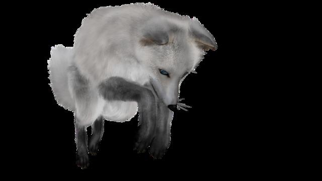 Fuchs white animal world, animals.
