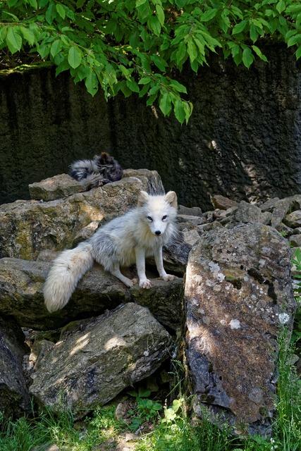 Fuchs white arctic fox.