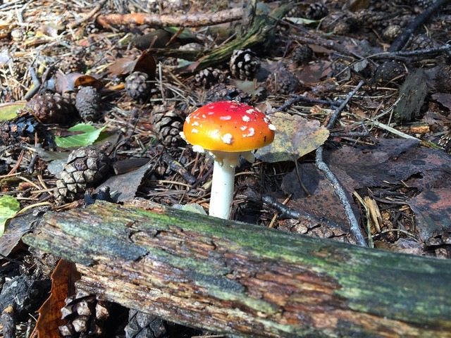 Fungus amanita forest, nature landscapes.